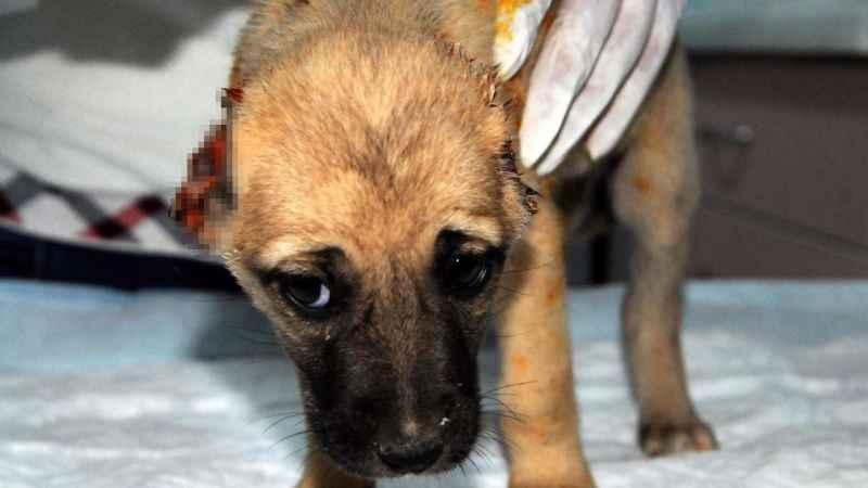 Yavru köpeği, kulaklarını kesip, araziye attılar