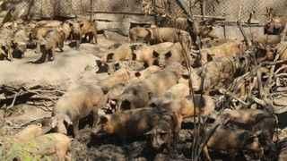 """Muhtarın domuz çiftliği isyanı!  """"Domuz çiftliğini bölgemizde istemiyoruz"""""""